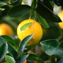Un citronnier en pot dans la cuisine, pour quoi faire ?